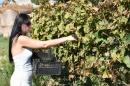 Lopott szőlő  - 2. kép